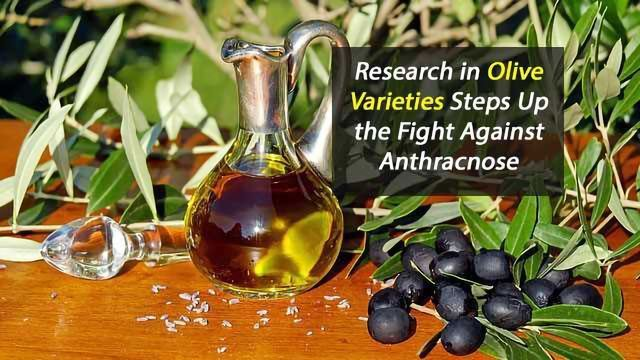 Resilience of Olive Varieties Studied In Fight Against Canker