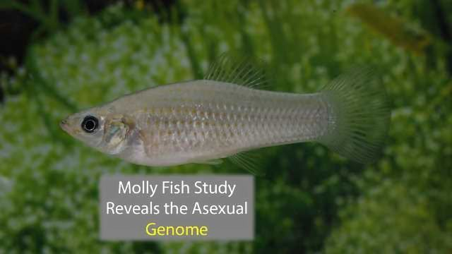 Genomic Study Reveals Molly Fish Has Gone 500,000 Generations Without Sex