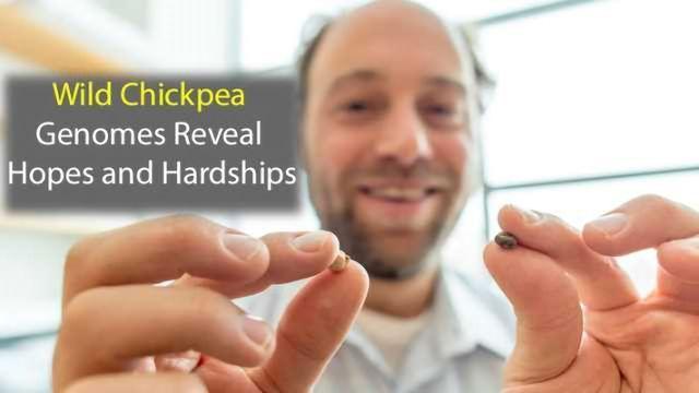 Genomic Study of Wild Chickpea Identifies Promising Traits