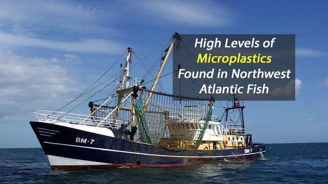 High Levels of Microplastics Found in Northwest Atlantic Fish
