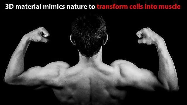 Novel Scaffolds to Grow Muscle Developed