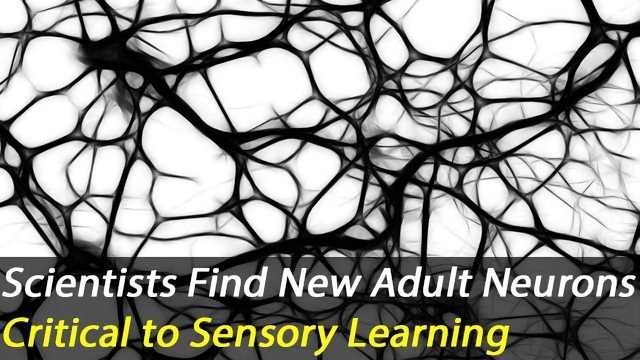 New Neurons Generated in Adult Brains Are Important for Sensory Learning