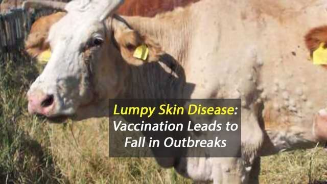 Vaccination Leads to Dramatic Decline in Outbreaks of Lumpy Skin Disease