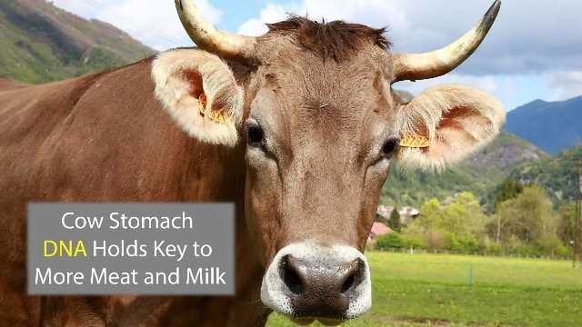 Cows' Guts Could Hold Secrets to More Meat and Milk