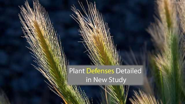 It's a Trap! Using Phylogenetics to Detail Plant Decoy Defenses