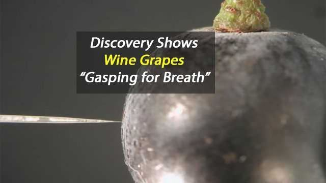 "Wine Grapes ""Gasp for Breath"" in Low Oxygen"