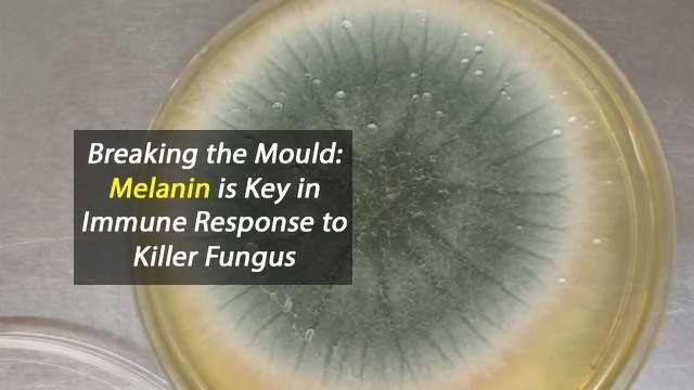 Breaking the Mould: Melanin is Key in Immune Response to Killer Fungus