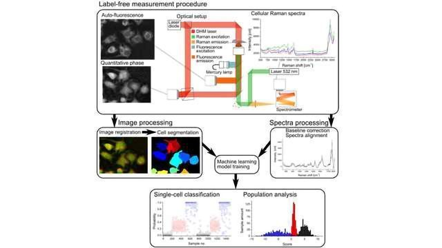 Label-Free Optical Measurements Reveal Single Cell Activation