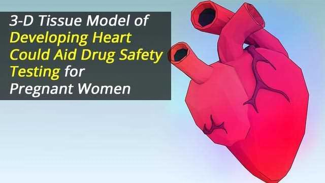3-D Tissue Model of Developing Heart Could Aid Drug Safety Testing for Pregnant Women