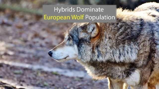 Majority of European Wolves Have Dog DNA
