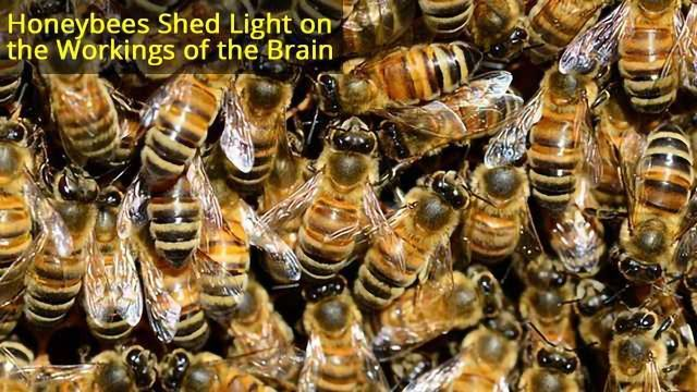 Superorganism Organisation: What brain scientists can learn from honeybees