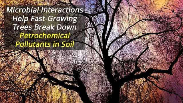 Plants, Fungi and Bacteria Work Together to Clean Polluted Land