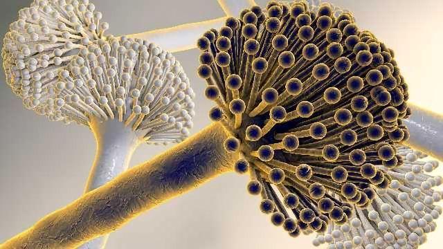 Introducing Fungiplex® Aspergillus real-time PCR