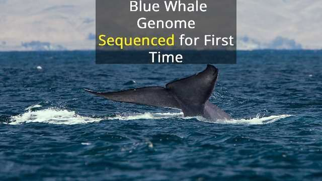 A Deep Dive into the Blue Whale Genome