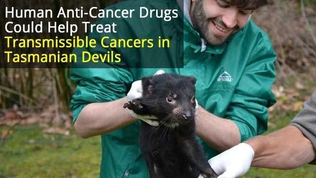 Could Cancer Drugs Help Save the Tasmanian Devil?