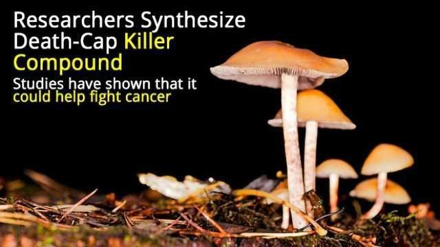 Deadly Mushroom Toxin Helps Fight Cancer?