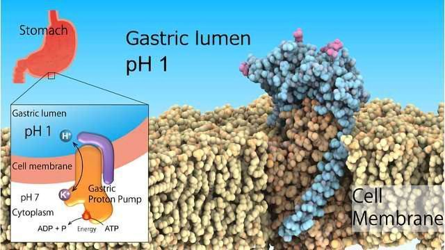 Gastric Proton Pump Structure Determined