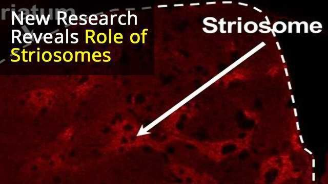 """Predicting the Future: """"Striosome"""" Neurons in the Basal Ganglia Play a Key Role in Learning"""