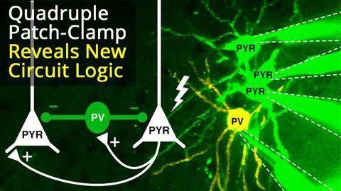 Quadruple Patch-Clamp Recording In Vivo Reveals Novel Cortical Circuit Communication Logic