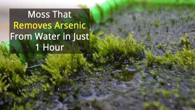 Rapid Removal of Arsenic From Drinking Water...By Moss!