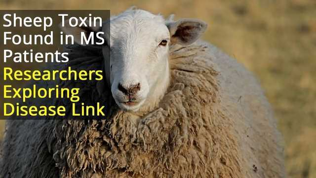 Sheep Toxin Could Cause MS