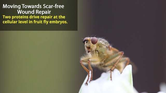 Mechanism of Scar-free Wound Healing in Fruit Fly Embryos Uncovered