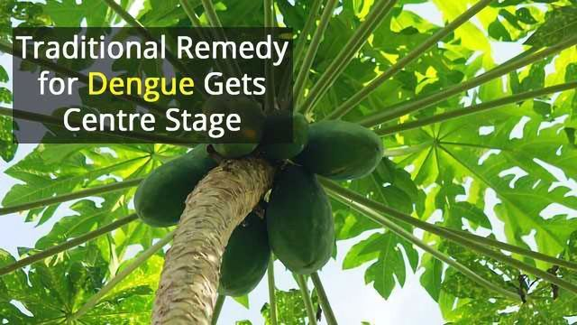 Papaya Leaf Holds a Cure for Dengue Fever