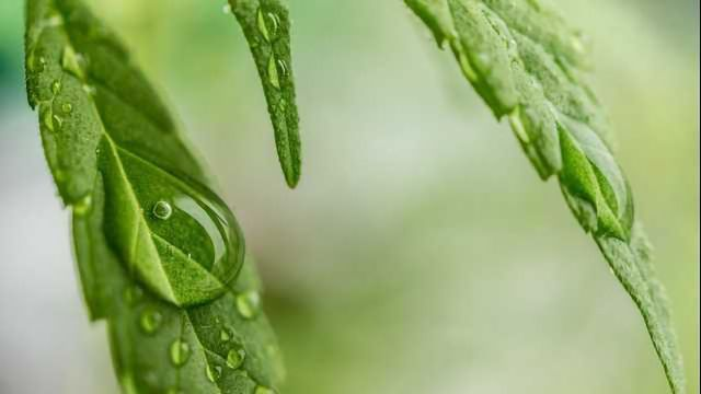 Determining the Quality of High Purity Cannabidiol Isolates