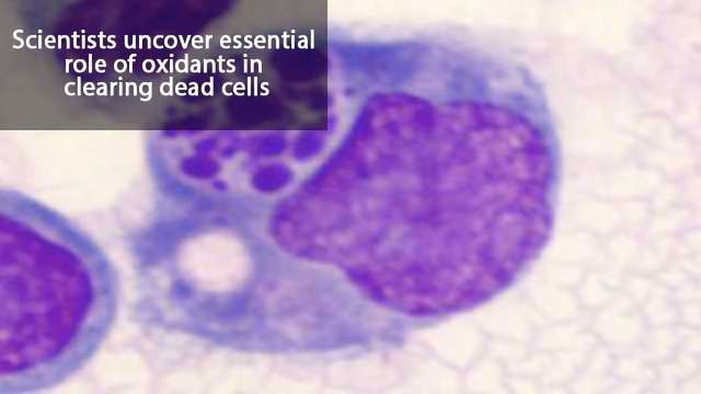 Proper Burial of Dead Cells Limits Inflammation