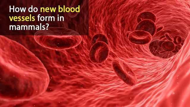 New Insights into Blood Vessel Growth