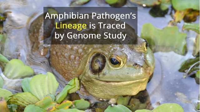 Fatal Frog Fungus Is From Far East, Finds Study
