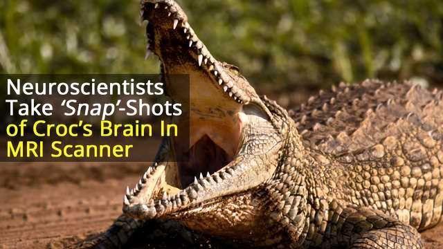 Bach Worse Than His Bite? Crocodile Listens to Classical Music in MRI Machine