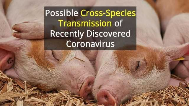 Potential Human Threat From New Pig Virus