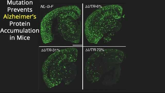 Mouse Mutation Protects Against Alzheimer's