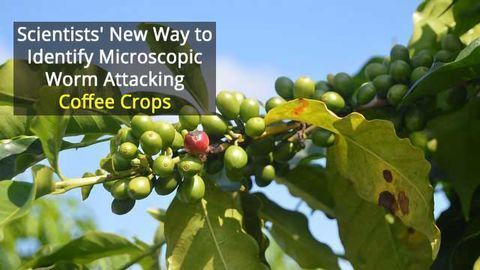 Underestimated Microscopic Problem For Coffee Crops