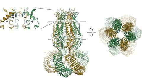 Cellular Valve Structure Opens Up Potential Novel Therapies