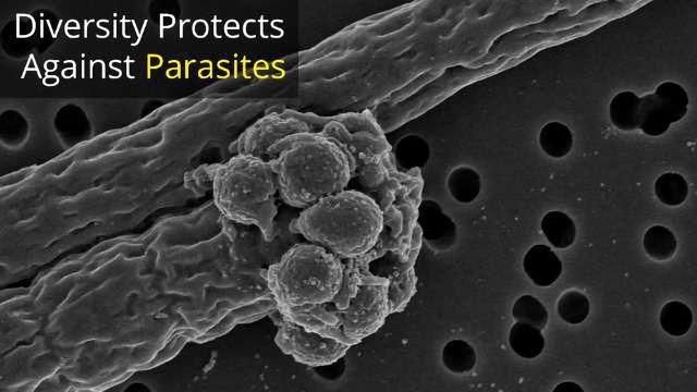 Genetic Diversity Helps Protect Against Disease