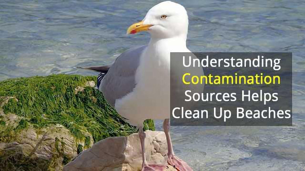 Cause of E. coli Beach Closures? Gulls!