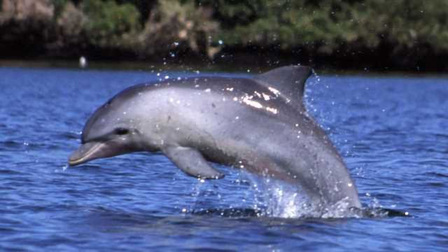 Dolphin Echolocation Could Improve Medical Ultrasound