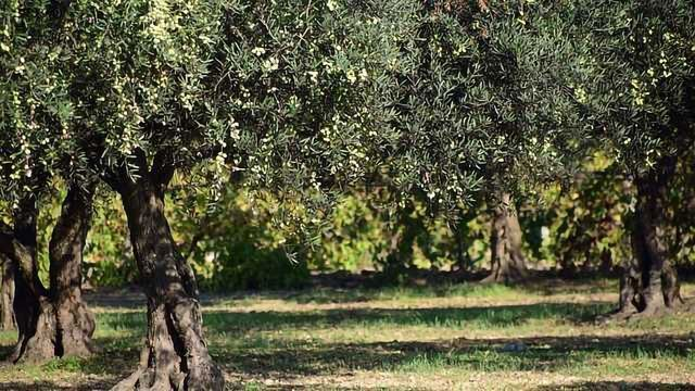 Remote Imaging Helps Save Olive Trees