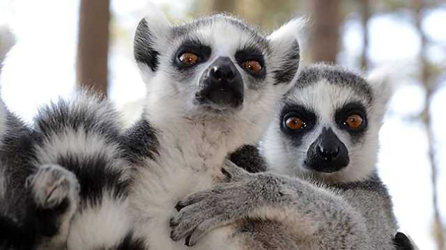 Lemurs Can Smell Weakness In Their Rivals