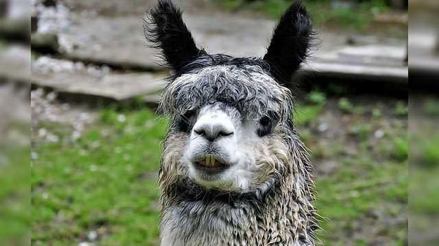 Llama-Derived Nanobody Could Be Used to Tackle Hard-to-Treat Diseases