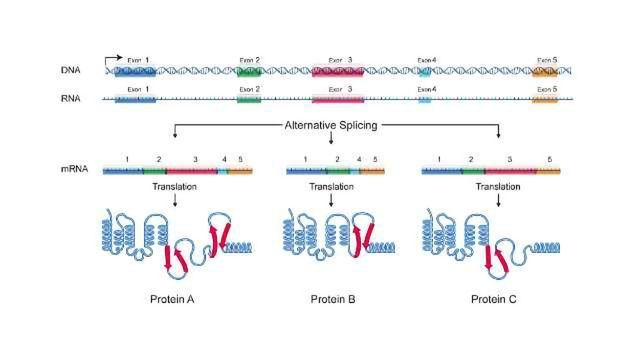 Alternative Gene Splicing is Crucial to Muscle Mass Maintenance