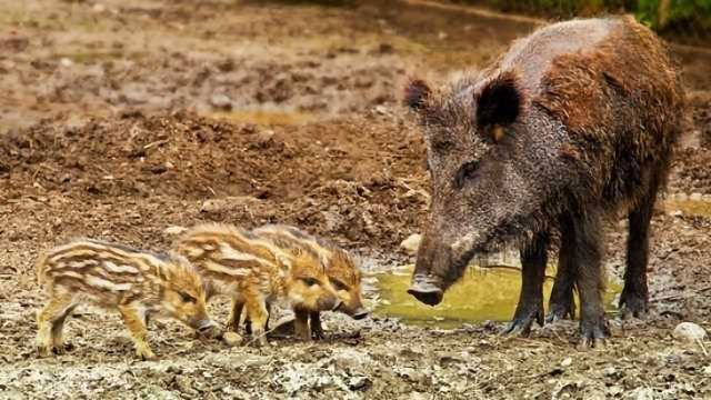 African Swine Fever Epidemic Prevention Strategy Formed