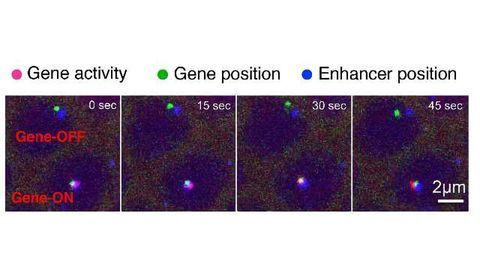 Imaging Shows 'Junk' DNA Acting as an On-Off Switch