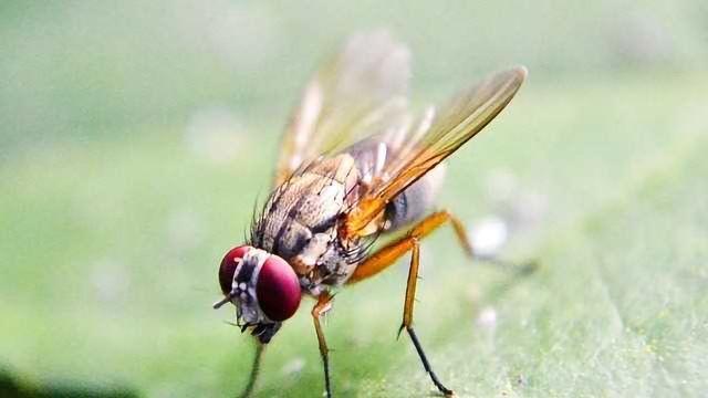 Fruit Flies Farm their own Probiotics