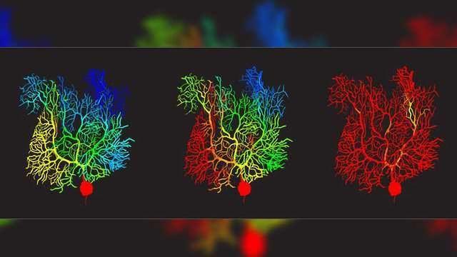 Virtual Cerebellar Purkinje    Cell    Gets an Upgrade   Technology Networks