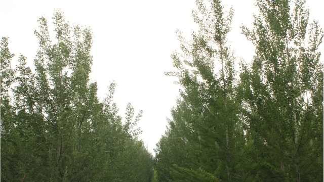 Genetic Engineering Can Stop Poplar Trees Spreading
