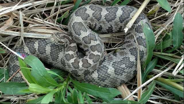 How Deadly Rattlesnake Keeps Its Diversity