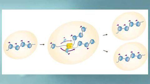 Novel Histone-Tracking Tool Unlocks New Insights into Epigenetic Cellular Memory